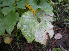 Powdery mildew is one of the most common garden problems and it affects gardeners from coast to coast. Enjoy these natural powdery mildew treatments. Powdery Mildew Treatment, Organic Gardening, Gardening Tips, Urban Gardening, Sustainable Gardening, Old Farmers Almanac, Plant Diseases, Garden Pests, Garden Planters
