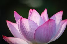 Lotus by Vader Chen on 500px
