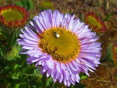 Seaside Daisy Macro (Spring beach flowers insects ). Photo by Feather3