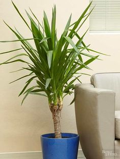 When you think of yucca plants, sunny desert conditions probably come to mind. But indoors, yucca cane is almost as happy in a dark corner where you can enjoy its leathery green, lancelike foliage and attractive tan bark. Indoor Trees, Indoor Plants, Plants Sunny, Indoor Gardening, Yucca Plant Indoor, Potted Plants, Gardening Tips, Easy Care Houseplants, Gardens