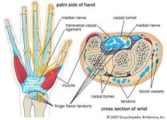 Carpal tunnel syndrome (CTS) is a condition brought on by increased pressure on the median nerve at the wrist. In effect, it is a pinched nerve (nerve compression) at the wrist. It is the most common pinched nerve condition in…Read more › Baby Massage, Hand Bone Anatomy, Anatomy Illustration, Carpal Tunnel Exercises, Physician Assistant School, Hand Surgery, Median Nerve, Musculoskeletal System, Occupational Therapy