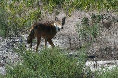 Red wolf, photo credit USFWS