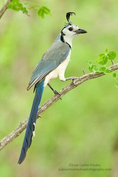 White-throated Magpie-Jay by Juan Carlos Vindas