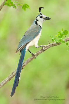 White-throated Magpie-Jay by Juan Carlos Vindas