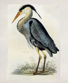 Great Blue Heron - John James Audubon.