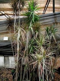 1000 images about apartment plants on pinterest yucca - Yucca elephantipes cuidados ...