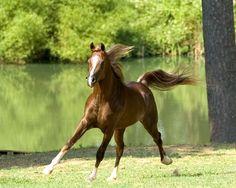 Paradise Arabians Straight Egyptian Arabian Horses - Thee Integrity