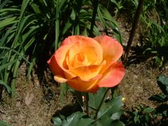 Rose - Rio Samba