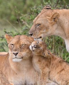 """Laura Dyer Photography: """"When you're just a little cub and really want in on the cuddles. It's great to watch them trying to sneak into situations like this, lion cubs are delightful."""""""
