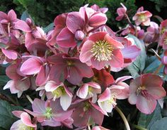 Klehm's Song Sparrow Farm and Nursery--Shade Perennials--Helleborus x ballardiae Merlin Gold Collection® PP22,350 12-15""