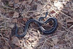 Sininen kyykäärme / Blue adder, snake Adder Snake, Reptiles, Blue, Animals, Animales, Animaux, Animal, Animais