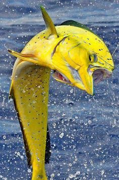 Mahi Mahi: Who would have thought that they were that bright and pretty?