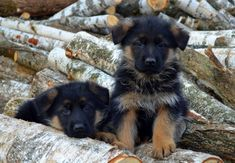 I really want one, but it's said that German Shepherd is very difficult to handle if you're just a beginner in petting dogs