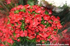 Red Sweet William