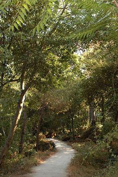 """Le pinete Le pinete, oasi di verde nel centro di Ischia, sono tre piccoli parchi nati sul terreno brullo lasciato dalla famosa eruzione dell'Arso del 1302, che seppellì per sempre l'antica e prospera """"Città Plana"""" o """"Aenaria"""". Cinque secoli dopo, nel 1850, quel paesaggio arido viene reso nuovamente verde dal botanico di corte Ferdinando II dei Borbone, Giovanni Gussone, che sceglie per l'operazione le conifere, piante tipicamente poco esigenti https://www.facebook.com/HelevirTurismo/?fref=ts"""
