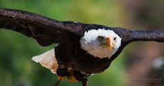 Aguila en pleno vuelo #nature #animals