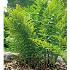 $5.98 2-Count Lady Fern (L8048)  Item #: 305581. Shade. Height (Inches)24.0 Width (Inches)24.0.Minimum Spacing (Inches)24.0