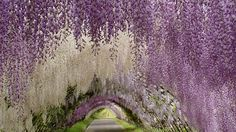 Located in the Kawachi Fuji Gardens, the Wisteria Tunnel is a passage-way made up entirely of pastel-colored flowers than hang from the ornamental wisteria vine. The tunnel blooms in late April or early May every year. (Flickr/Shifath Nafis)   50 Stunning Places to See in Japan (PHOTOS)   The Weather Channel