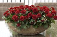 Αποτέλεσμα εικόνας για λουλουδια Φθινοπώρου Χρυσάνθεμα