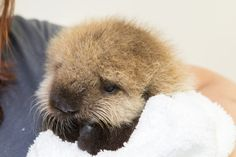 Baby otter found crying alone in the surf rescued!