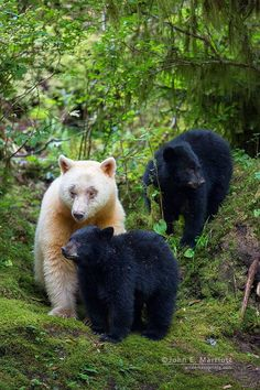 White Spirit Bear mother and two Black Bear Cubs (Ursus americanus kermodei) North America, Canada Animals And Pets, Baby Animals, Cute Animals, American Black Bear, Spirit Bear, Mother Bears, Bear Photos, Bear Pics, Love Bear
