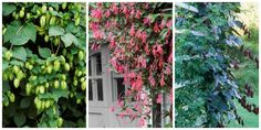These fast-growing climbers can hide unwelcome features, cover bare walls and fences, and lend an air of wilderness to even the most staid landscape. Take a look at these 10 fast-climbing flowering vines and. Climbing Flowering Vines, Climbing Flowers, Climbing Vines, Flowering Plants, Fast Growing Flowers, Fast Growing Vines, Growing Plants, Fast Growing Climbers, Climber Plants