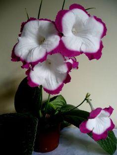 Streptocarpus Zuza Pink ( Polish variety- small, plug plant)