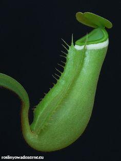 """N. albomarginata """"green""""   Lowland species."""
