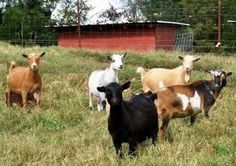 Nigerian Dwarf dairy goats.  I love these little goats, they are so cute and intelligent.  And they are great dairy goats no matter what the bigger goat owners say. :)