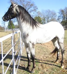 Wap Appaloosa - Google Search