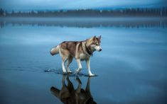 See more Beautiful Siberian Husky Dog photos,. - Where Is My Husky - Husky Beautiful, Funny Momment Photos Sibirsk Husky, Brown Siberian Husky, Siberian Huskies, Husky Brown, Cool Pictures, Cool Photos, Amazing Photos, Unbelievable Pictures, Funny Pictures