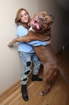 This is Hulk, a pit bull from New Hampshire. At 175 pounds and only 18 months old, he just may be the world's largest pit bull. He lives with the Grannan family. His owners, Marlon and Lisa, run Dark Dynasty K9s, a kennel that specializes in pit bull terriers.