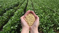 Russia Bans all Imports of US Soybeans and Corn over Microbial and GMO Contamination --- Russia has dealt a huge blow to U. farmers, after banning all imports of U. soybeans and corn due to microbial and GMO contamination, the country's foo Personalized Candles, Custom Candles, Como Plantar Oregano, Maui, Soy Products, Soy Candles, Selfies, Healthy Recipes, Healthy Foods