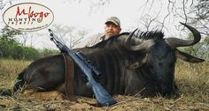 """Bluewildebeest are known as """"poor man's buffalo"""" and it's not for no reason. Van found this out first hand. They are tóúgh animals. #mbogohuntingsafaris #hunter #hunt #hunting #huntinglife  #africahunting #huntingphoto #jagt #jakt #jagen #chasse #polowania #huntin http://misstagram.com/ipost/1554177787236814914/?code=BWRjHaODZBC"""