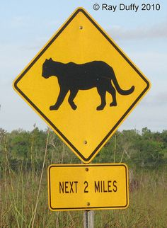 Panther Crossing in Everglades National Park, Florida