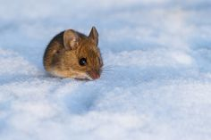 Snow Mouse by Carsten Andersen, via 500px