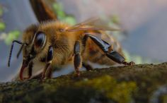 Domesticated honeybees are giving bumblebees their dirty diseases