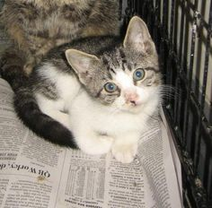 Petango.com – Meet Gospel - 091618h, a 2 months 17 days Domestic Shorthair / Mix available for adoption in TUPELO, MS