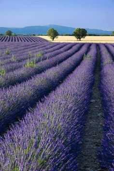 To breathe lavender as far as the eye can see...