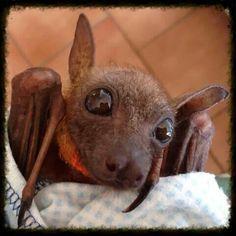 Baby 'Flying Fox' is a Bat Baby Animals, Funny Animals, Cute Animals, Murcielago Animal, Beautiful Creatures, Animals Beautiful, All Bat, Bat Species, Bat Flying