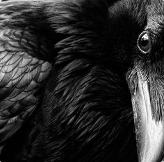 There's an intriguing depth in the eyes of a raven.