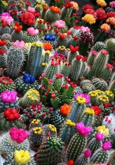 Cactus flowers. I think it would be so neat to have beautiful cacti surrounding the perimeter of my future home