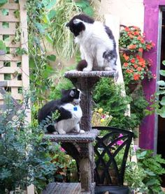 Gardening for Cats - Create a secure garden paradise for your cats. Click photo for a wonderful article. Cat Climber, Outdoor Cat Enclosure, Cat Plants, Cat Garden, Balcony Garden, Super Cat, Outdoor Cats, Sleepy Cat, Pet Safe