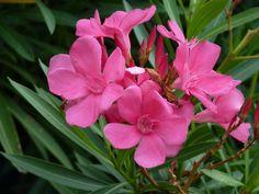 50 Hot Pink Oleander Seeds