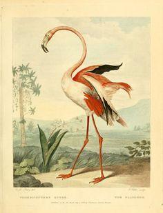 American Flamingo, Musei Leveriani explicatio, anglica et latina. Translation of works by George Shaw, 1742.