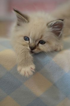 Baby kitten blue eyes DSC_0123 by *lalalaurie, via Flickr
