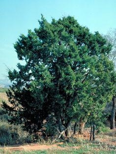 juniperus scopularum rocky mountain juniper