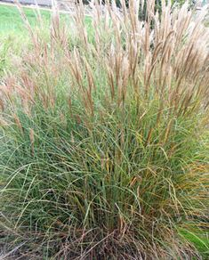 Miscanthus flame grass m sinensis 39 purpurascens 39 makes for Tall thin ornamental grasses
