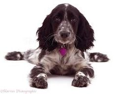 Image result for roan cocker spaniel