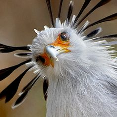 "secretary bird…….""MISS JONES, BRING YOUR PAD, PLEASE…..I WISH TO DICTATE A LETTER TO THE AUDUBON SOCIETY""……."